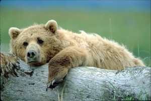 Grizzly bear relaxes on a log